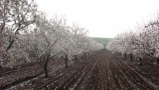 Almond Tree blossom in Kfar Tavor.