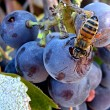 Bee_and_grape_cluster