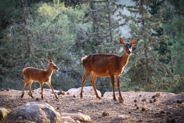 Wild deer in Gush Etzion. Credit: Gershon Elinson/FLASH90.